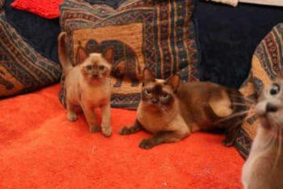 Ayshazen Cats
