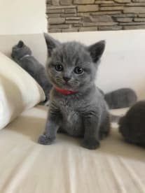 Abrakatdabra British Shorthair Cattery