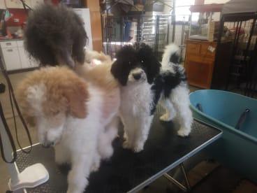 Illini Spirit Standard Poodles