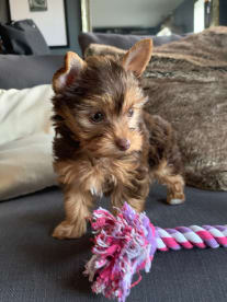 Colorful Yorkies By Joanna