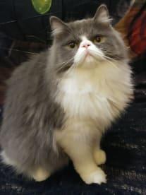 Pixie Puff Persian & Minuet Kittens