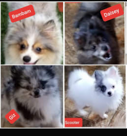 South Ga Pomeranians